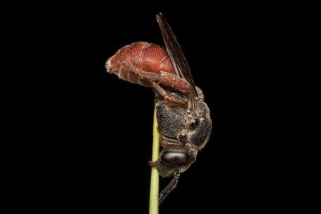 Biastes-brevicornis-Weibchen