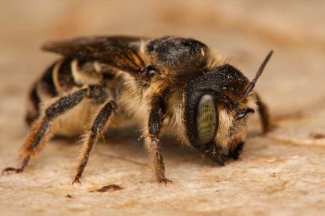 Lithurgus-cornutus-Weibchen