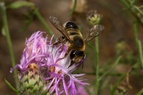 Wollfüßige Blattschneiderbiene Weibchen