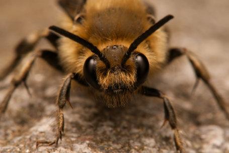 Melecta-albifrons-Männchen