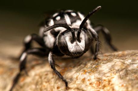 Gestutzte Fleckenbiene Weibchen