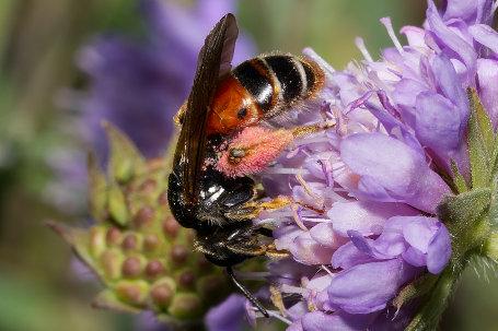 Andrena hattorfiana Weibchen k 1