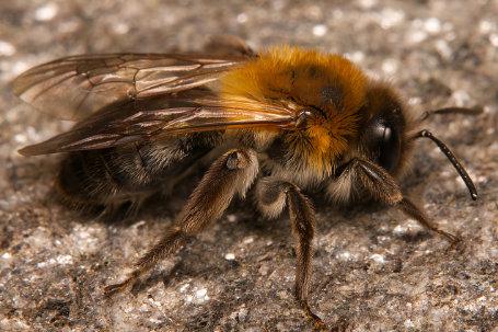 Andrena nitida Weibchen k 1