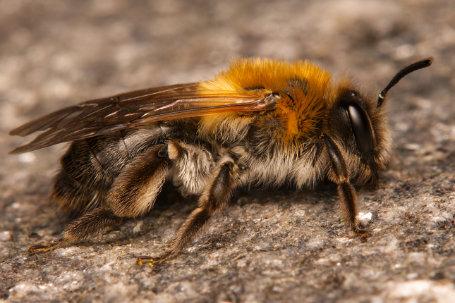Andrena nitida Weibchen k 2