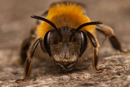 Andrena nitida Weibchen k 3