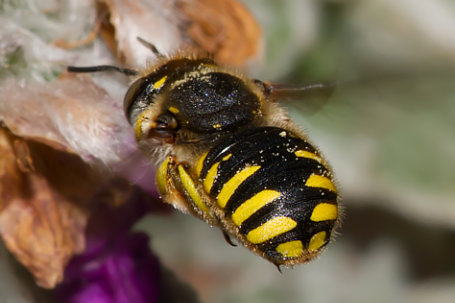 Anthidium manicatum Weibchen k2 6