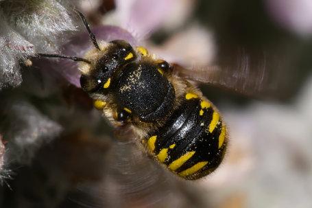 Anthidium manicatum Weibchen k2 7