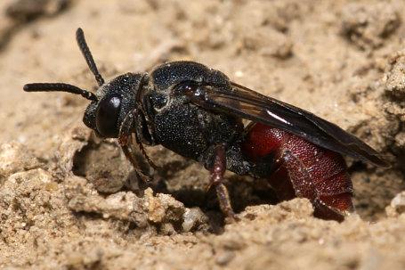 Biastes brevicornis Weibchen k2 1