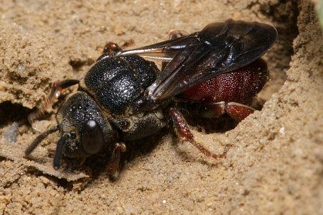 Biastes brevicornis Weibchen k2 3