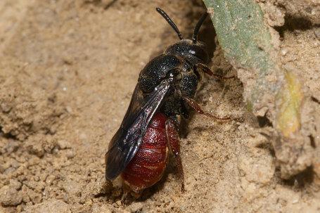 Biastes brevicornis Weibchen k2 4