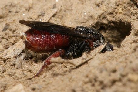 Biastes brevicornis Weibchen k2 5