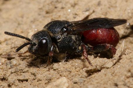 Biastes brevicornis Weibchen k2 6