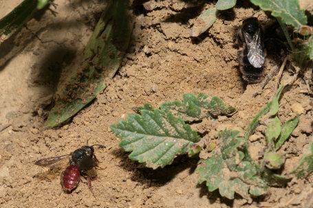 Biastes brevicornis Weibchen k2 7