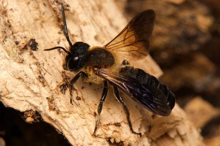 Megachile sculpturalis Maennchen k 2