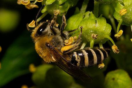 Colletes hederae Weibchen k2 7