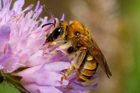 Eucera pollinosa Weibchen k2 8