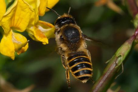 Megachile ericetorum Weibchen k2 7