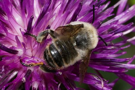 Megachile lagopoda Maennchen k2 1