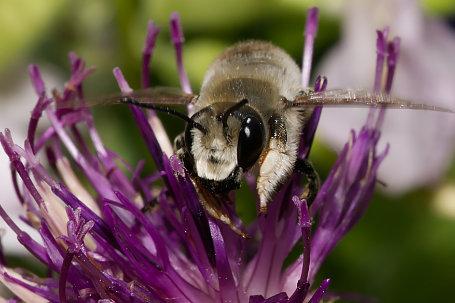 Megachile lagopoda Maennchen k2 2