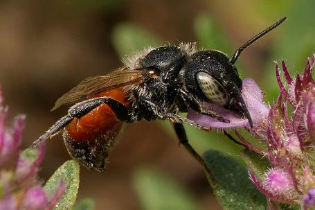 Osmia aurulenta Weibchen k2 2 1
