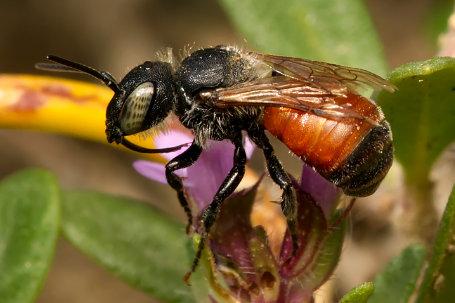 Osmia aurulenta Weibchen k2 3 1
