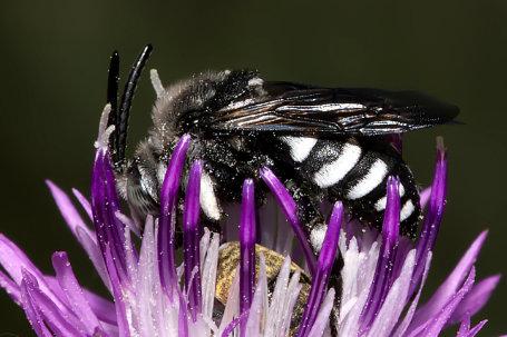 Thyreus truncatus Maennchen k2 1