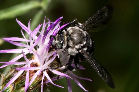 Thyreus truncatus Maennchen k2 5