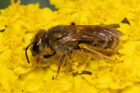 Halictus subauratus Weibchen k 4