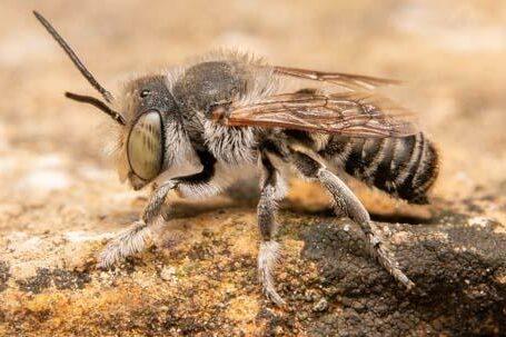 Megachile pilidens Maennchen k 1 1 e1613230920220