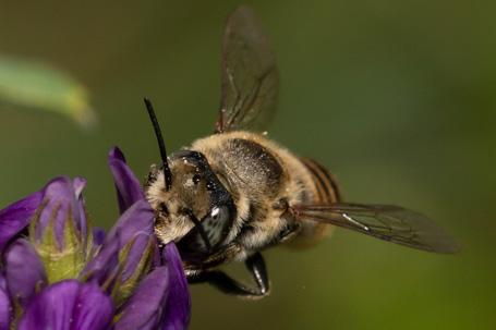 Megachile pilidens Weibchen k 3