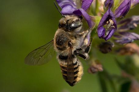 Megachile pilidens Weibchen k 4