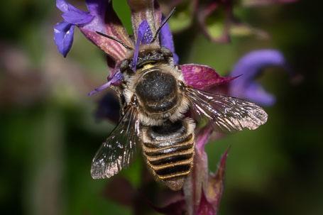 Megachile pilidens Weibchen k 5