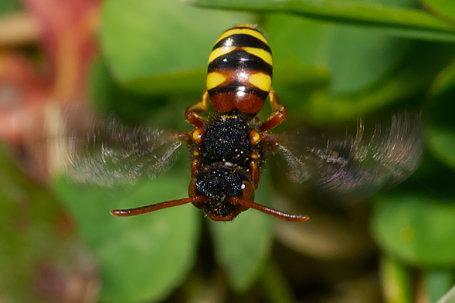 Nomada bifasciata Weibchen k 3