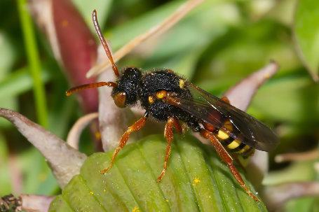 Nomada bifasciata Weibchen k 5